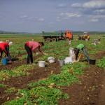 Начало уборки картофеля урожай 2019г